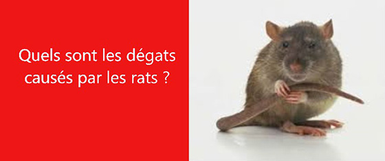 degats rats les exterminateurs