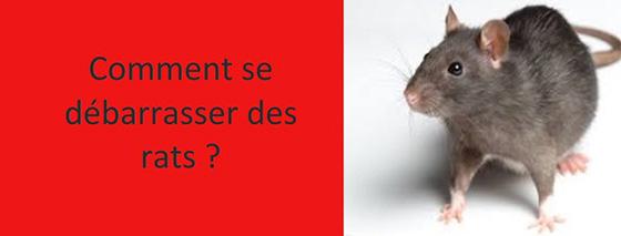 comment se debarrasser des rats