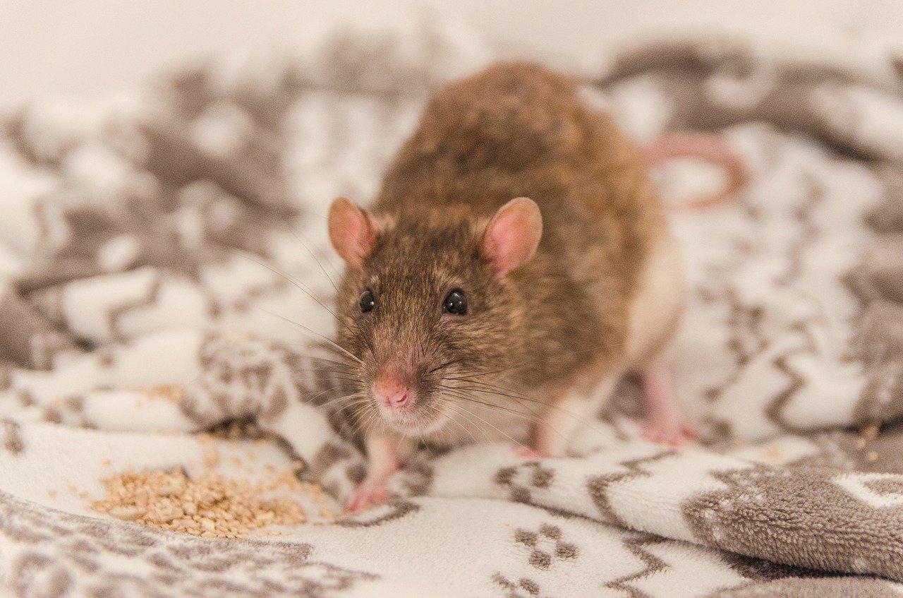 Repérer souris et rats