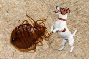 chien détecteur punaise de lit