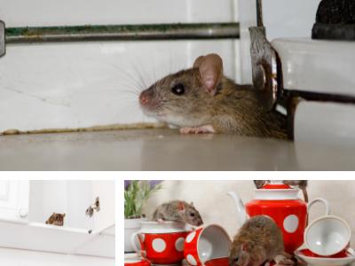 invasion-rats-souris